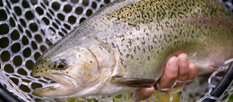 do stock trout reproduce