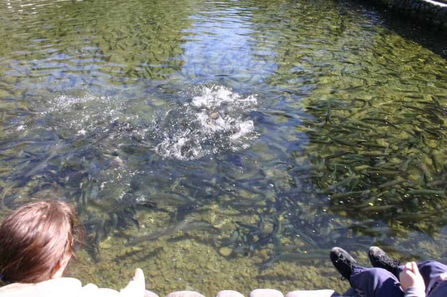 trout in hatchery